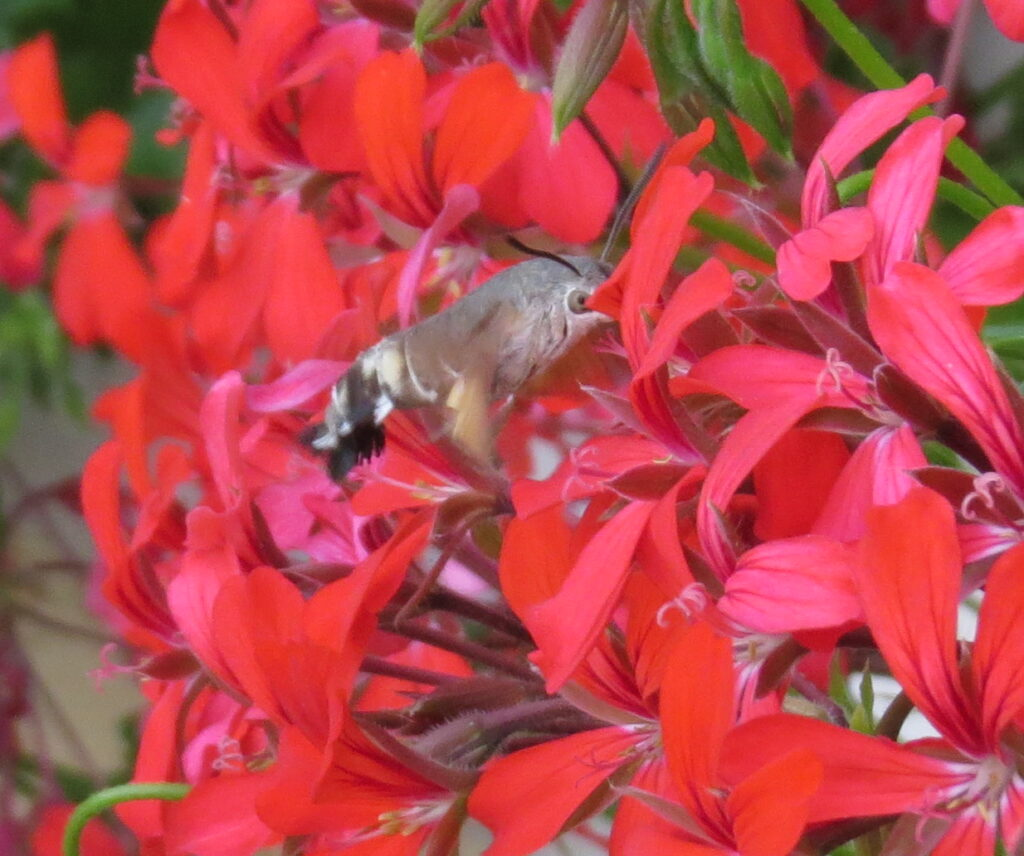 Dagsvermer Macroglossum Stellatare